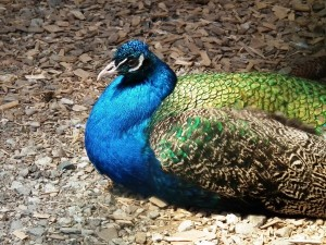 peacock-animal-bird-pride-spring-green